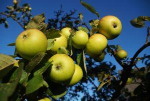 apple-966109_640